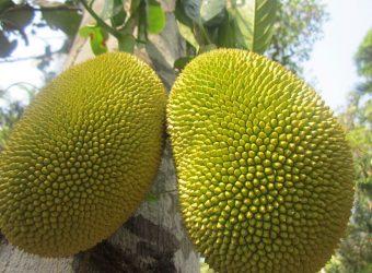 Ripe_jackfruit