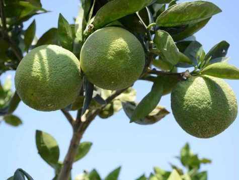 24 varieties of citrus fruits developed at Kota Citrus Fruit Centre