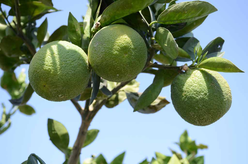 24 varieties of citrus fruits developed at Kota Citrus Fruit Centre